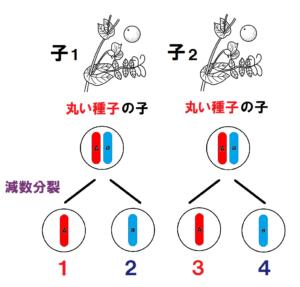 子の遺伝子の減数分裂番号つき