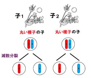 子の遺伝子の減数分裂