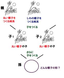 孫の種子の形