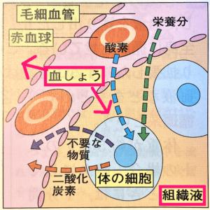 毛細血管と組織液