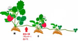 オランダイチゴの栄養生殖
