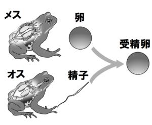 カエルのオスとメス