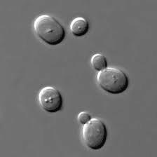 酵母菌の出芽