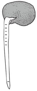 ソラマメの図2