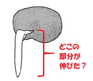 ソラマメの根3