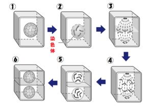 細胞分裂の詳細