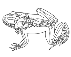 両生類の骨格