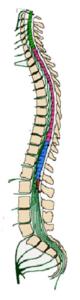 ヒトの脊髄