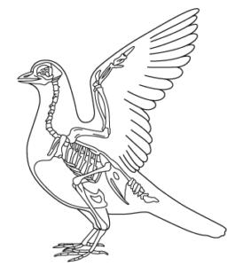 鳥類の骨格