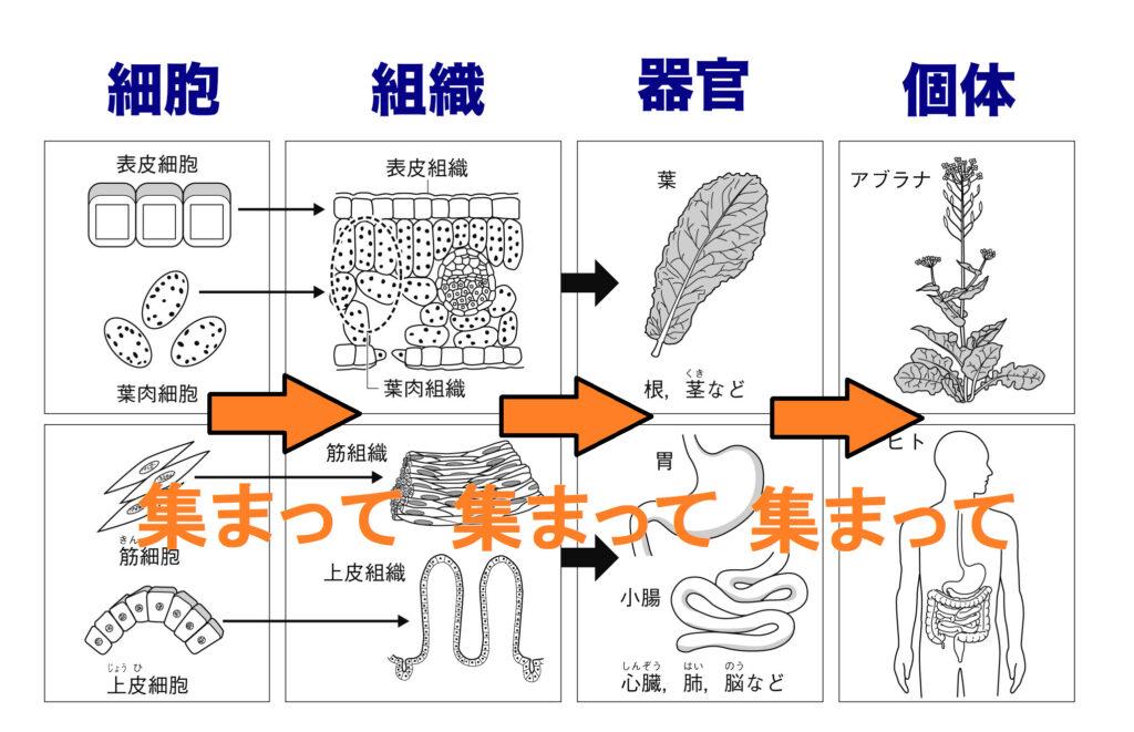 細胞 組織 器官 個体の関係